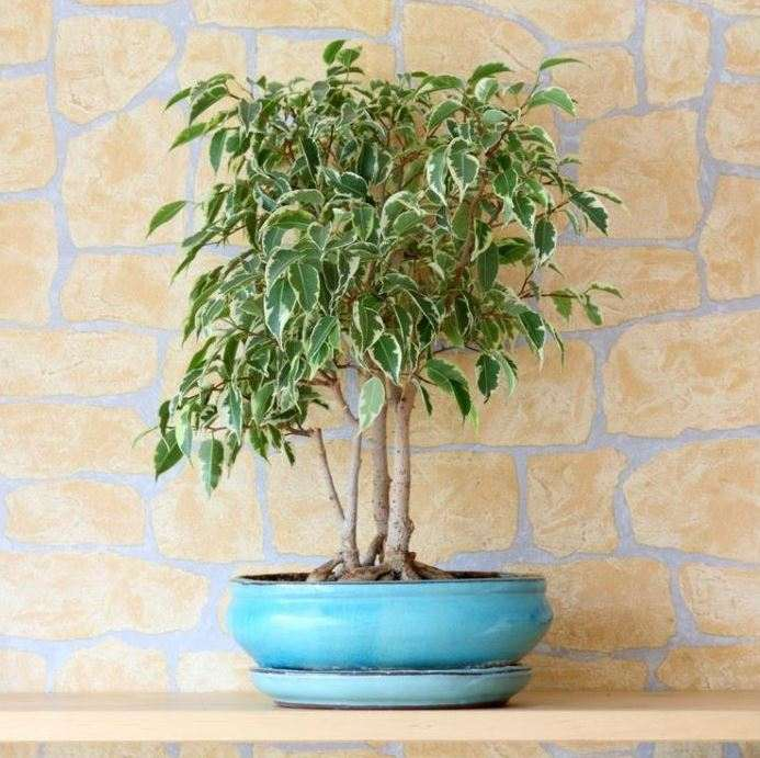 Weeping-fig-plant